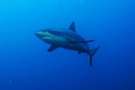 Shark on the Nippo Maru in Truk Lagoon